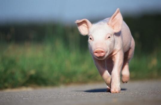 猪肉大战拉开序幕
