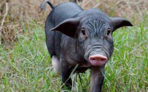 土猪肉营销策划方案